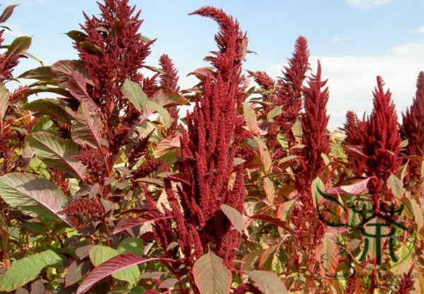 Amaranthus Hypochondriacus, Prince's Feather Seed, Amaranth Zili Xian