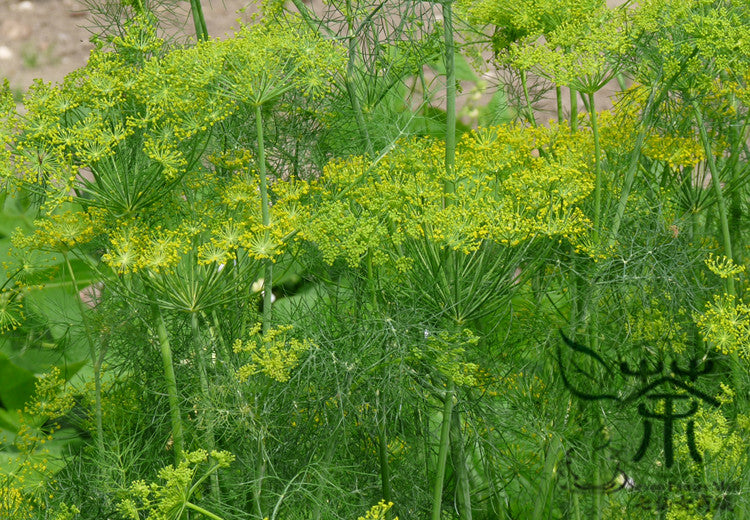 Anethum Graveolens, Annual Dill Seed, Shi Luo - Herbal Seeds - bestplant - bestplant