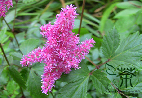 Astilbe Chinensis, Chinese Astilbe Seed, False Goat's Beard Luo Xin Fu - Flower Seeds - bestplant - bestplant