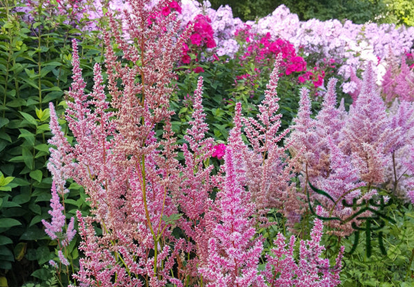 Astilbe Chinensis, Chinese Astilbe Seed, False Goat's Beard Luo Xin Fu