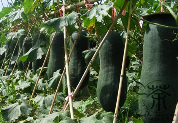Benincasa Hispida, Winter Gourd Seed, Winter Melon Hei Pi Donggua
