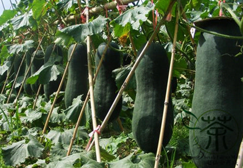 Benincasa Hispida, Winter Gourd Seed, Winter Melon Hei Pi Donggua - Vegetable Seeds - bestplant - bestplant