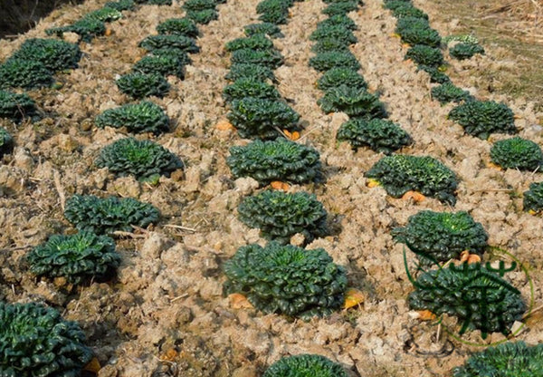 Brassica Cabbage, Brassicaceae Variety Seed, Wu Ta Cai