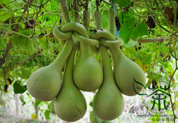 Lagenaria Siceraria, Bottle Gourd Seed, Long Melon Chang Bing Hulu
