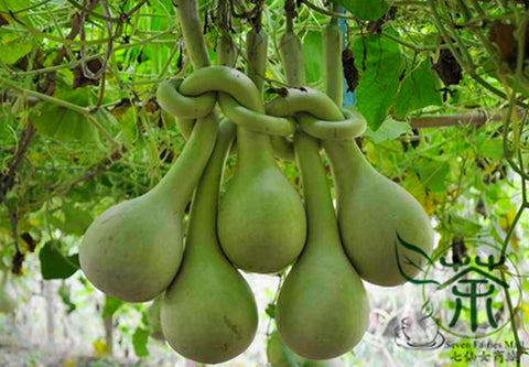 Lagenaria Siceraria, Bottle Gourd Seed, Long Melon Chang Bing Hulu - Vegetable Seeds - bestplant - bestplant