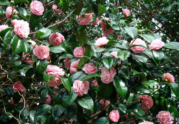 Camellia Japonica, Rose Of Winter Seed, Shan Cha Hua - Flower Seeds - bestplant - bestplant