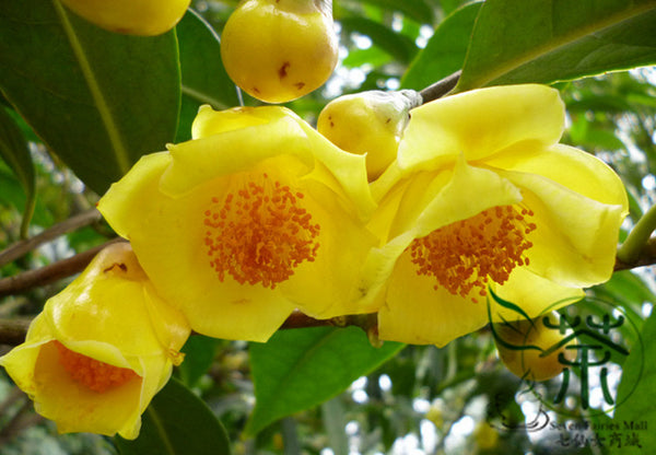 Camellia Nitidissima, Yellow Camellia Seed, Jin Hua Cha - Flower Seeds - bestplant - bestplant