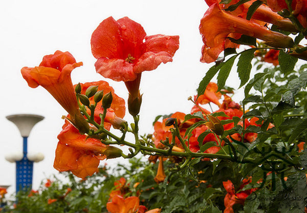 Campsis Grandiflora, Chinese Trumpet Vine Seed, Ling Xiao - Flower Seeds - bestplant - bestplant