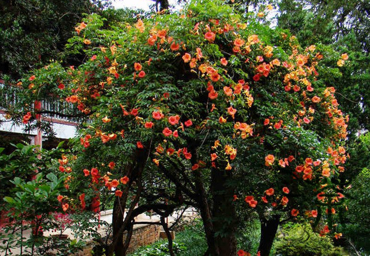Campsis Grandiflora, Chinese Trumpet Vine Seed, Ling Xiao