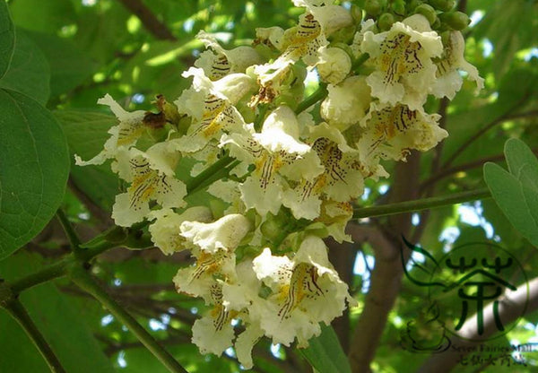 Catalpa Ovata, Yellow Catalpa Seed, Chinese Catalpa Zi Shu - Tree Seeds - bestplant - bestplant
