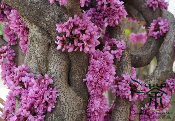 Cercis Chinensis, Chinese Redbud Seed, Zi Jing