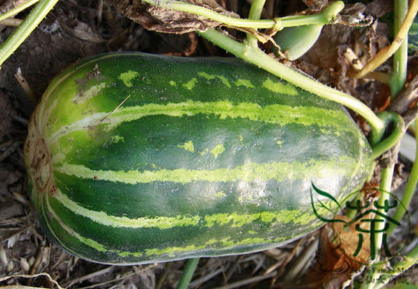 Dudaim Melon, Queen Anne's Melon Seed, Lv Tian Gua - Fruit Seeds - bestplant - bestplant