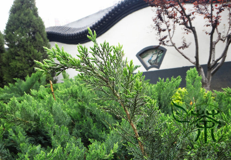 Cupressus Funebris, Chinese Weeping Cypress Seed, Gui Bai