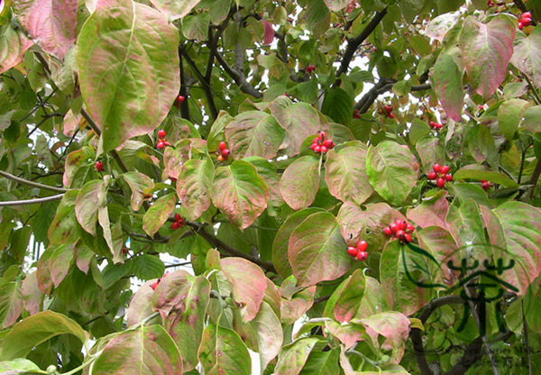 Dendrobenthamia Japonica, Cornus Kousa Seed, Si Zhao Hua - Tree Seeds - bestplant - bestplant
