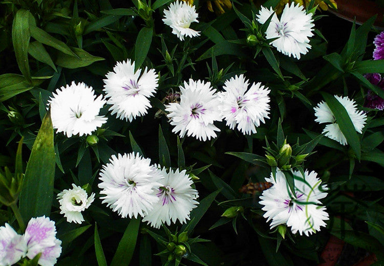 Buy flower seeds dianthus chinensis online plant rainbow pink seed flower seeds dianthus chinensis rainbow pink seed bonsai plants china pink shi zhu mightylinksfo