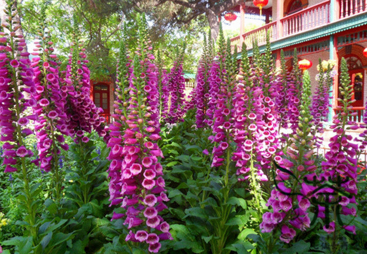 Image result for digitalis purpurea
