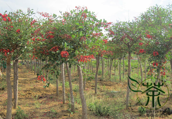 Erythrina Crista-galli, Cockspur Coral Tree Seed, Jiguan Ci Tong - Tree Seeds - bestplant - bestplant