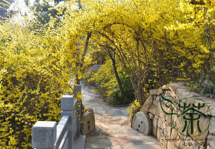 Forsythia Suspensa, Weeping Forsythia Seed, Golden Bell Lian Qiao - Tree Seeds - bestplant - bestplant