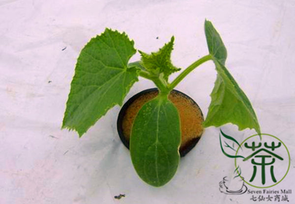 Cucumis Sativus, Fruit Cucumber Seed, Shuiguo Huanggua - Vegetable Seeds - bestplant - bestplant