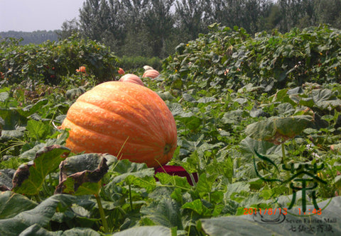 Giant Pumpkin, Cucurbita Moschata Seed, Huge Pumpkin Juxing Nangua - Vegetable Seeds - bestplant - bestplant