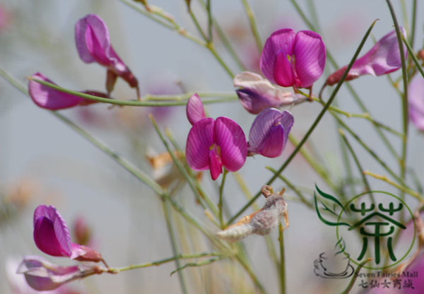 Hedysarum Scoparium, Hedysarum Sweetvetch Seed, Hua Bang