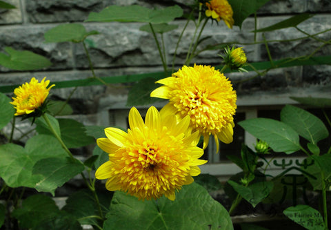 Helianthus Annuus, Short Plena Sunflower Seed, Ai Xiangrikui