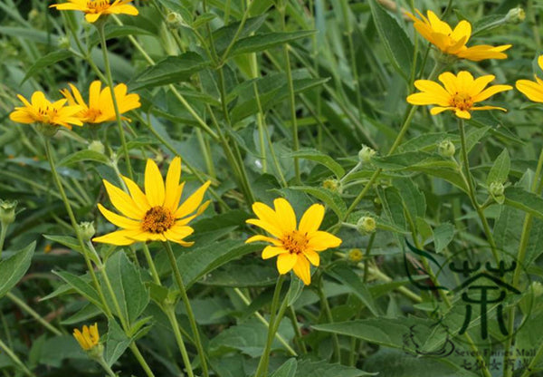 Heliopsis Helianthoides, Smooth Oxeye Seed, False Sunflower Riguang Ju