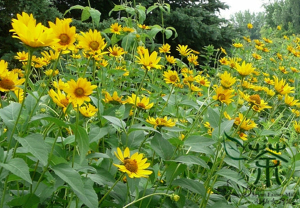 Heliopsis Helianthoides, Smooth Oxeye Seed, False Sunflower Riguang Ju - Flower Seeds - bestplant - bestplant