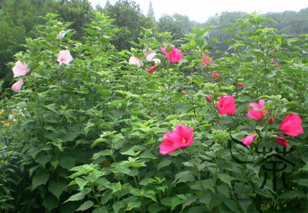 Hibiscus Moscheutos, Rose Mallow Seed, Furong Kui