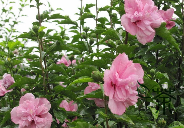 Hibiscus Syriacus, Rose Of Sharon Seed, Rose Mallow Mujin