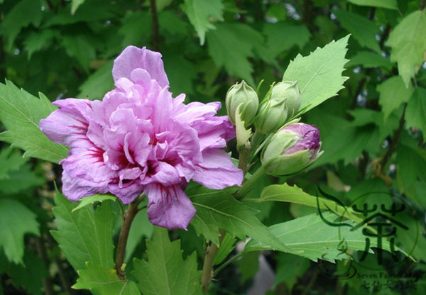 Hibiscus Syriacus, Rose Of Sharon Seed, Rose Mallow Mujin - Flower Seeds - bestplant - bestplant