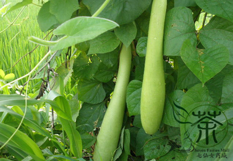 Lagenaria Siceraria, Bottle Gourd Seed, Common Calabash Hu Zi Gua