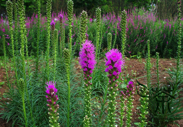 Liatris Spicata, Dense Blazing Star Seed, Prairie Gay Feather She Bian Ju