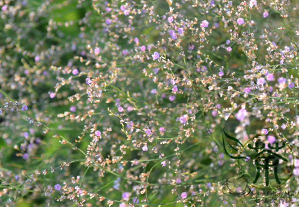 Limonium Mill, Aromatic Plant Seeds, Qing Ren Cao