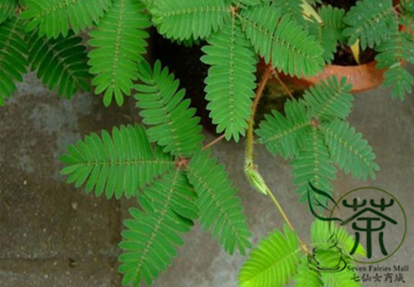Mimosa Pudica, Sensitive Plant Seed, Touch-Me-Not Hanxiu Cao