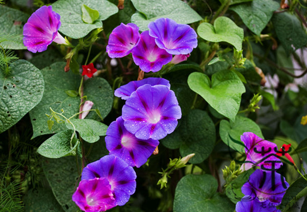 Ipomoea Nil, Picotee Morning Glory Seed, Ivy Morning Glory Qian Niu Hua