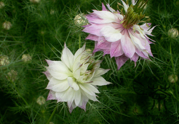 Nigella Damascena, Ragged Lady Seed, Love-in-a-mist Hei Zhong Cao
