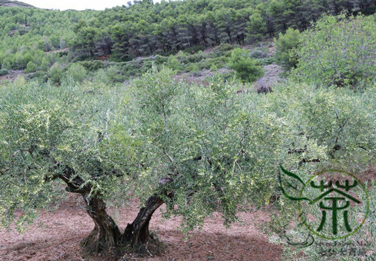 Olea Europaea, European Olive Seed, Olive Tree You Gan Lan