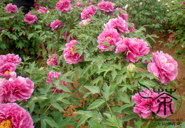 Paeonia Suffruticosa, Chinese Peony Seed, Moutan Mudan - Flower Seeds - bestplant - bestplant