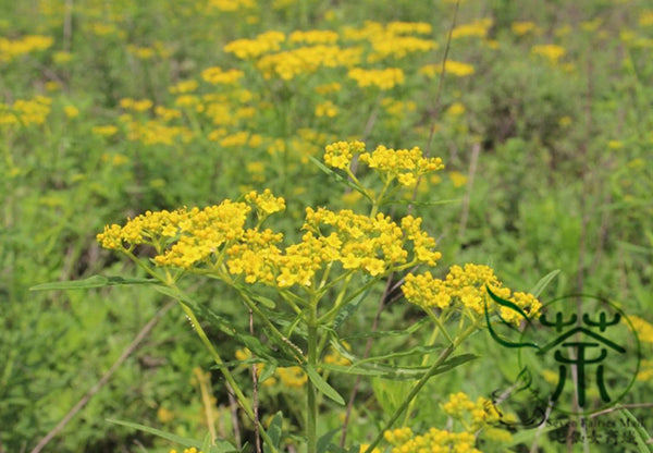 Patrinia Scabiosifolia, Golden Lace Seed, Huanghua Bai Jiang - Herbal Seeds - bestplant - bestplant