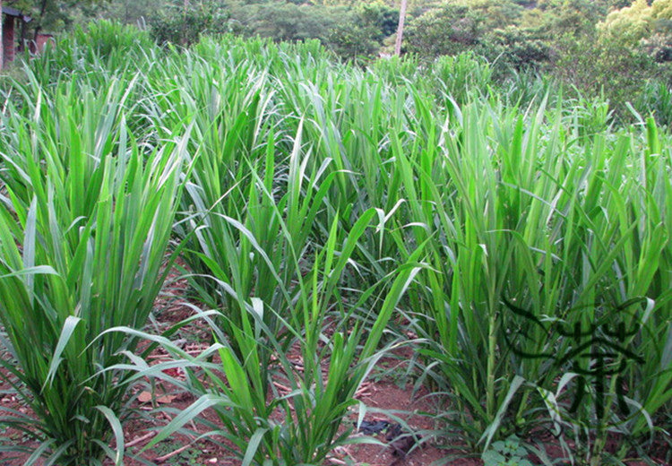 Pennisetum Alopecuroides Sweet Elephant Grass Seed Tian Xiang Cao