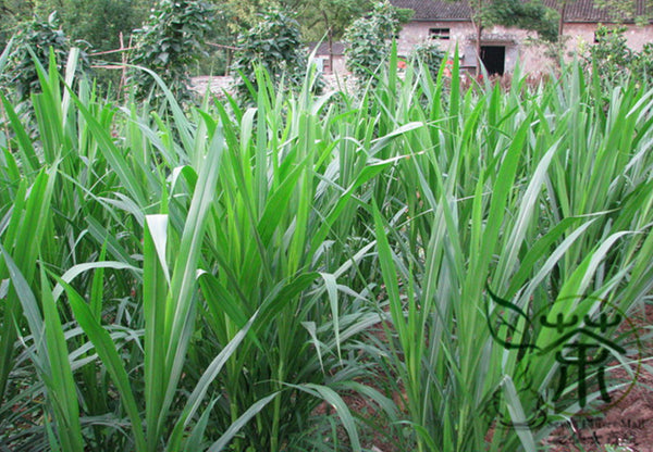 Pennisetum Alopecuroides, Sweet Elephant Grass Seed, Tian Xiang Cao