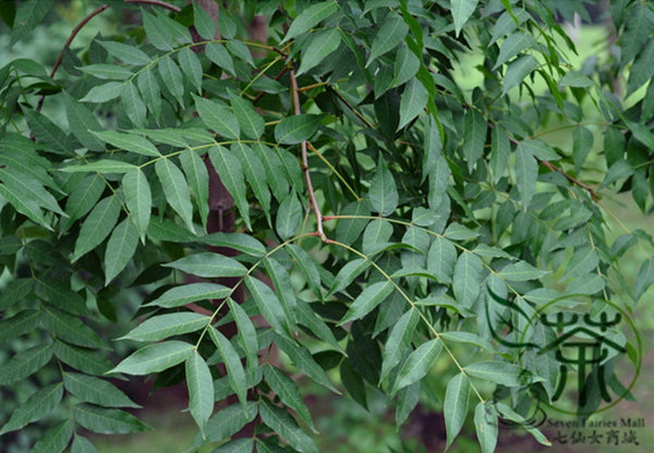 Pistacia Chinensis, Chinese Pistache Seed, Huang Lian Mu - Tree Seeds - bestplant - bestplant