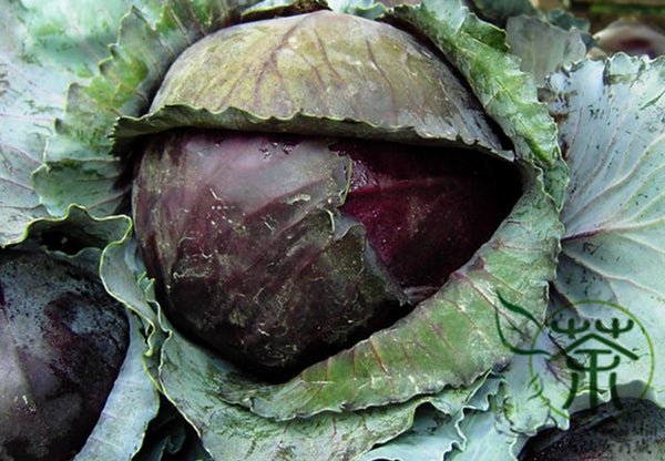 Purple Cabbage, Brassica Oleracea Seed, Red Cabbage Zi Ganlan