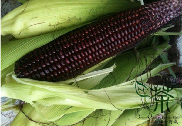 Purple Maize, Zea Mays Seed, Sweet Corn Zi Yumi