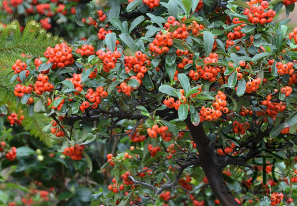 Pyracantha Fortuneana, Pyracantha Crenato Seed, Huo Ji