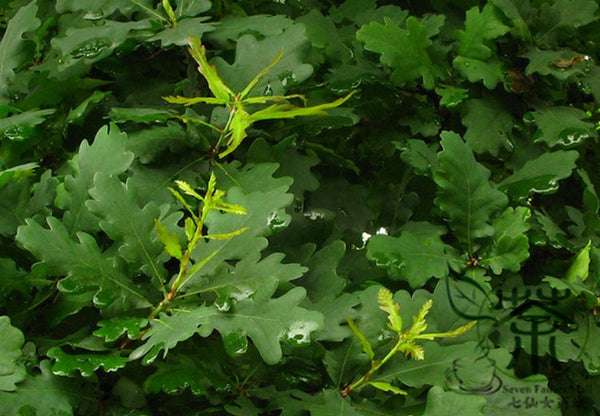 Quercus Palustris, Swamp Spanish Oak Seed, Pin Oak Xiangmu - Tree Seeds - bestplant - bestplant