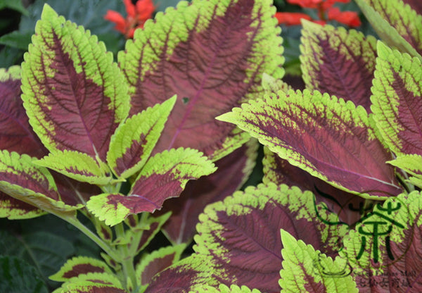 Coleus Blumei, Painted Nettle Seed, Flame Nettle Cai Ye Cao