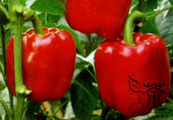 Red Bell Pepper, Capsicum Annuum Seed, Sweet Pepper Hong Tian Jiao