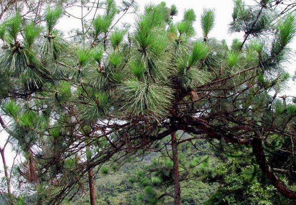 Pinus Massoniana, Masson's Pine Seed, Horsetail Pine Mawei Song